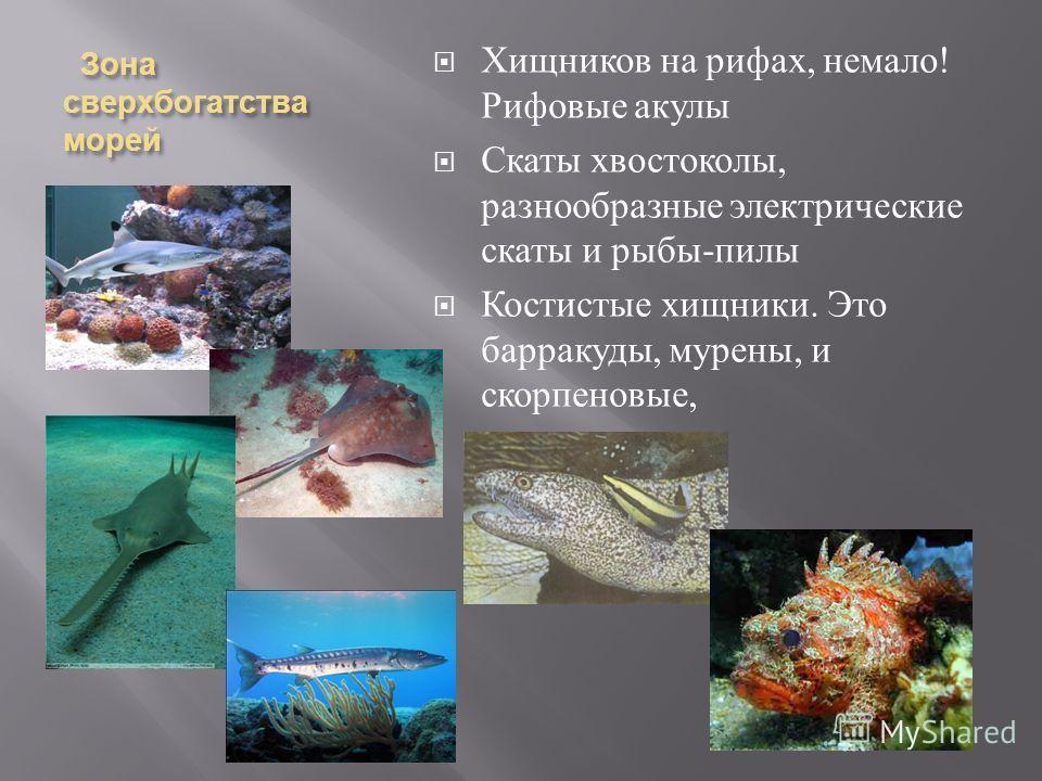 Зона сверх богатства морей Зона сверх богатства морей Хищников на рифах, немало ! Рифовые акулы Скаты хвостоколы, разнообразные электрические скаты и рыбы - пилы Костистые хищники. Это барракуды, мурены, и скорпеновые,