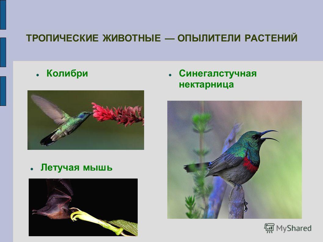 Колибри ТРОПИЧЕСКИЕ ЖИВОТНЫЕ ОПЫЛИТЕЛИ РАСТЕНИЙ Летучая мышь Синегалстучная нектарница