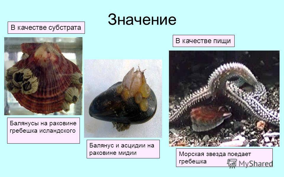 Значение В качестве субстрата В качестве пищи Балянусы на раковине гребешка исландского Балянус и асцидии на раковине мидии Морская звезда поедает гребешка