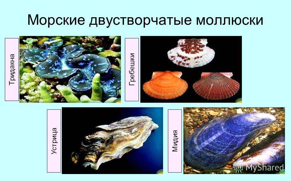 Морские двустворчатые моллюски Тридакна Гребешки Устрица Мидия