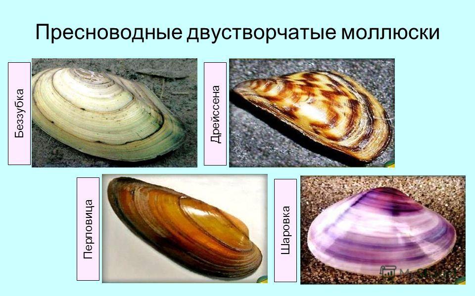Пресноводные двустворчатые моллюски Беззубка Дрейссена Перловица Шаровка