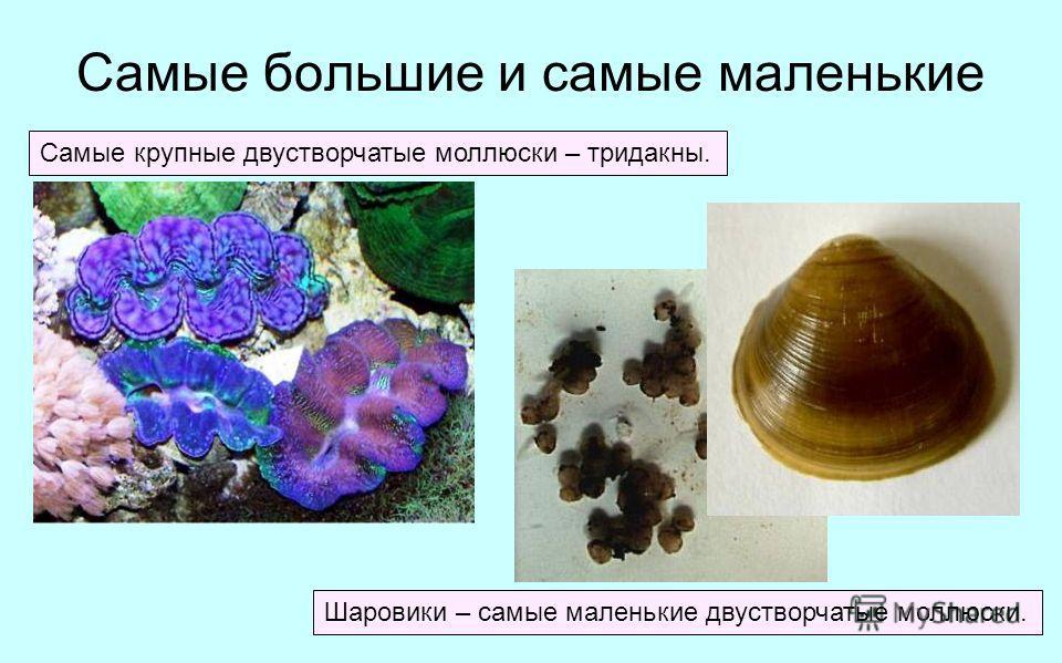 Самые большие и самые маленькие Самые крупные двустворчатые моллюски – тридакны. Шаровики – самые маленькие двустворчатые моллюски.