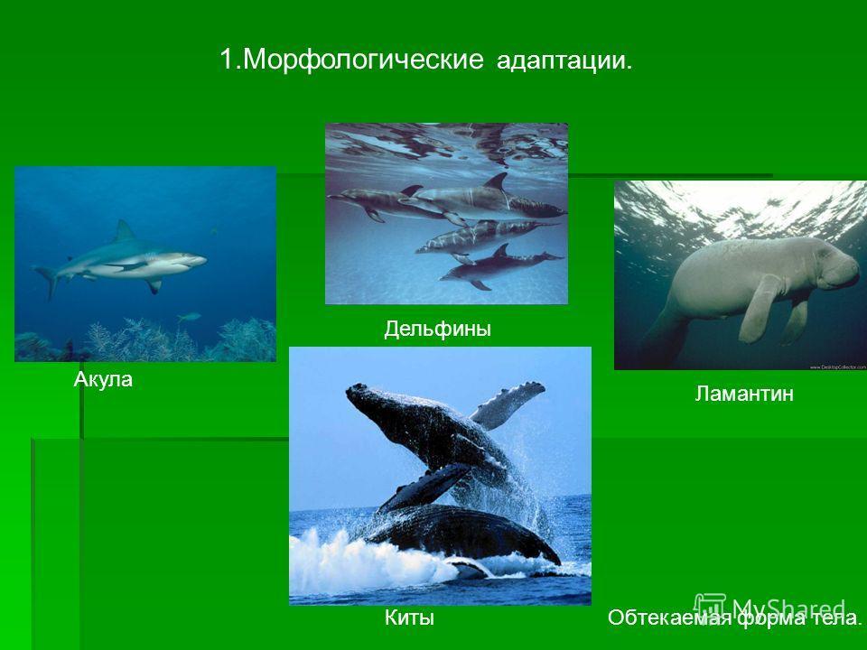 1. Морфологические адаптации. Обтекаемая форма тела. Акула Дельфины Ламантин Киты