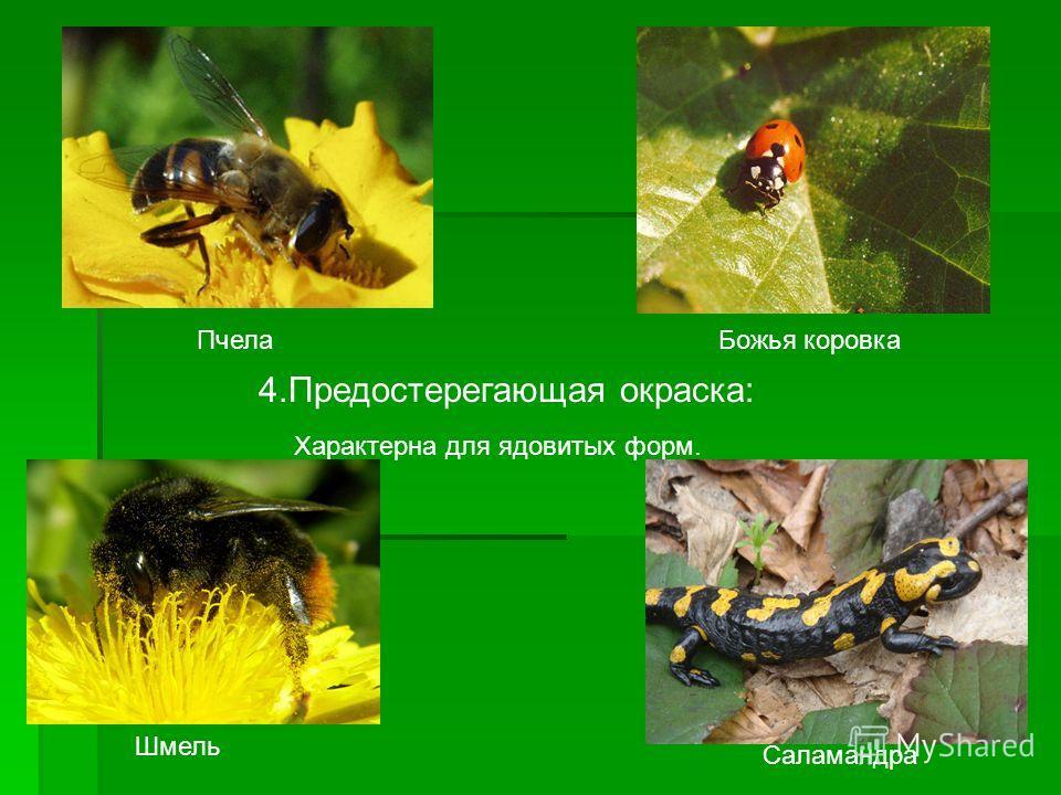 4. Предостерегающая окраска: Характерна для ядовитых форм. Пчела Божья коровка Шмель Саламандра