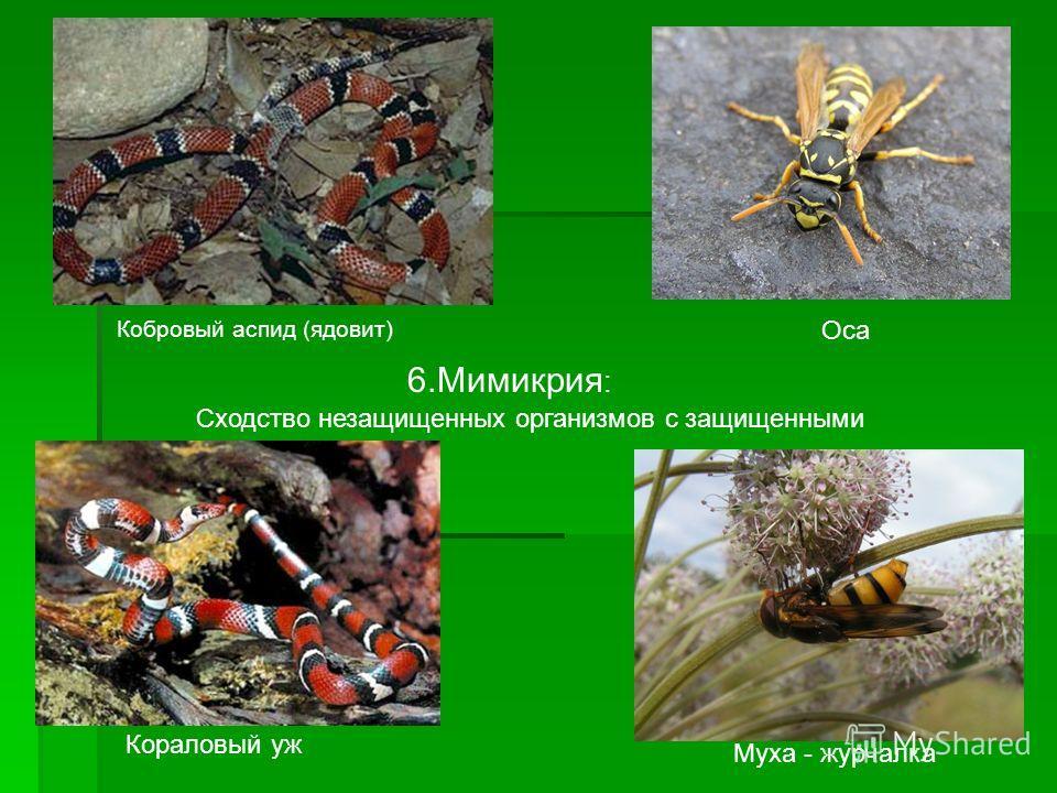 6. Мимикрия : Сходство незащищенных организмов с защищенными Кобровый аспид (ядовит) Кораловый уж Оса Муха - журчалка