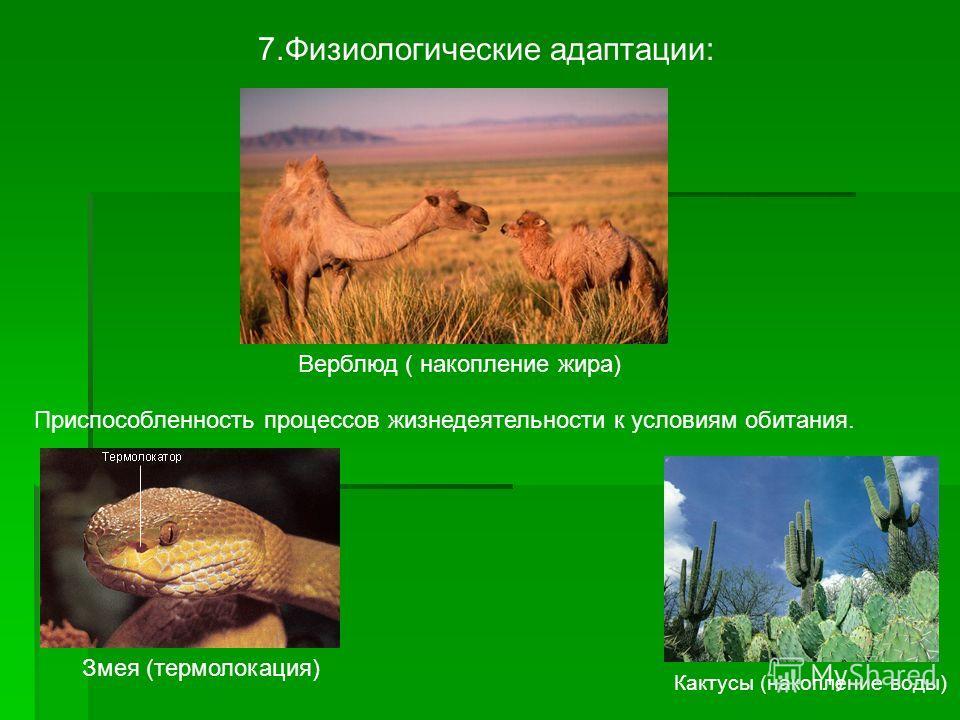 7. Физиологические адаптации: Приспособленность процессов жизнедеятельности к условиям обитания. Змея (термолокация) Кактусы (накопление воды) Верблюд ( накопление жира)