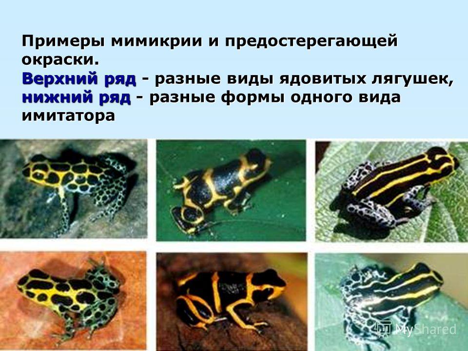 Примеры мимикрии и предостерегающей окраски. Верхний ряд - разные виды ядовитых лягушек, нижний ряд - разные формы одного вида имитатора