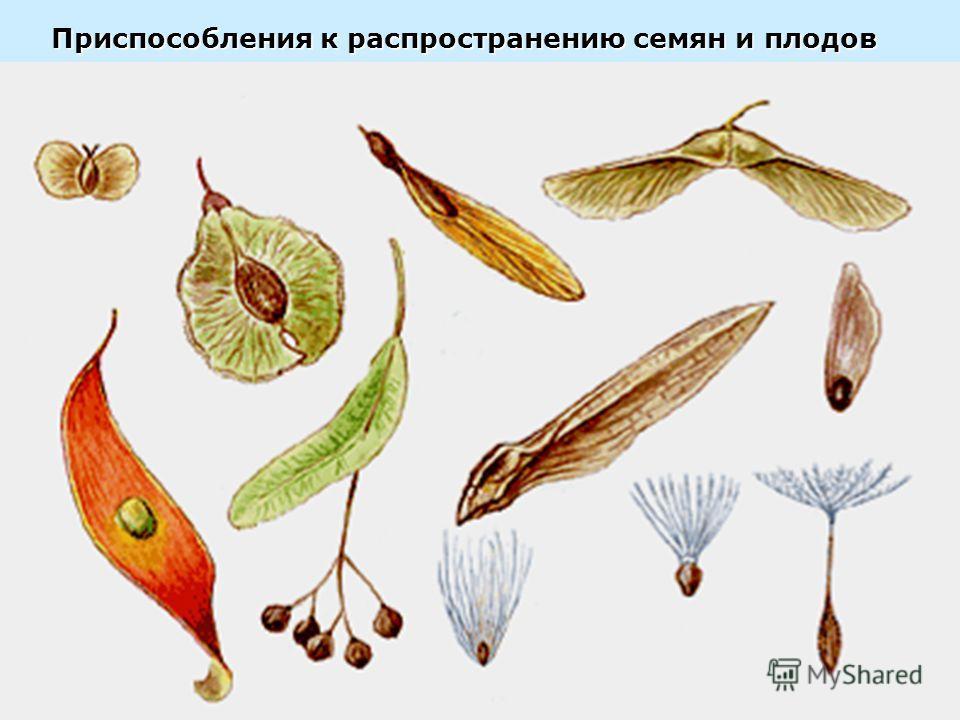 Приспособления к распространению семян и плодов