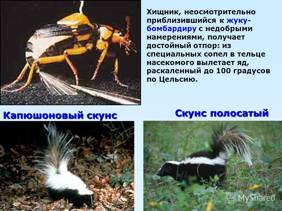 Скунс полосатый Хищник, неосмотрительно приблизившийся к жуку- бомбардиру с недобрыми намерениями, получает достойный отпор: из специальных сопел в тельце насекомого вылетает яд, раскаленный до 100 градусов по Цельсию. Капюшоновый скунс