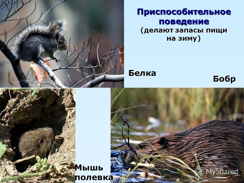 Белка Мышьполевка Бобр Приспособительное поведение (делают запасы пищи на зиму)