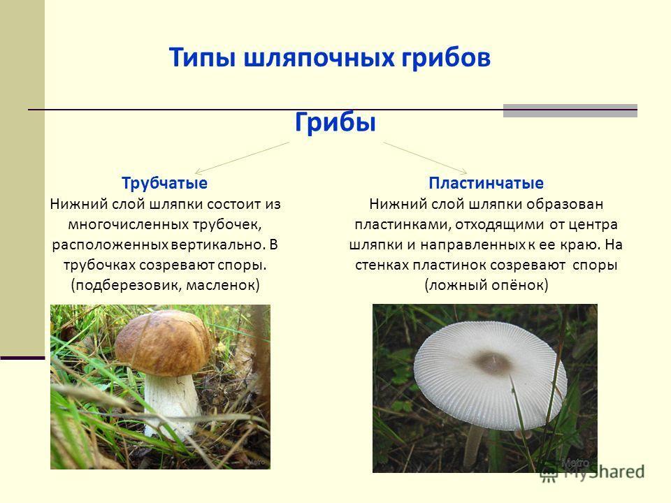 Типы шляпочных грибов Грибы Трубчатые Нижний слой шляпки состоит из многочисленных трубочек, расположенных вертикально. В трубочках созревают споры. (подберезовик, масленок) Пластинчатые Нижний слой шляпки образован пластинками, отходящими от центра