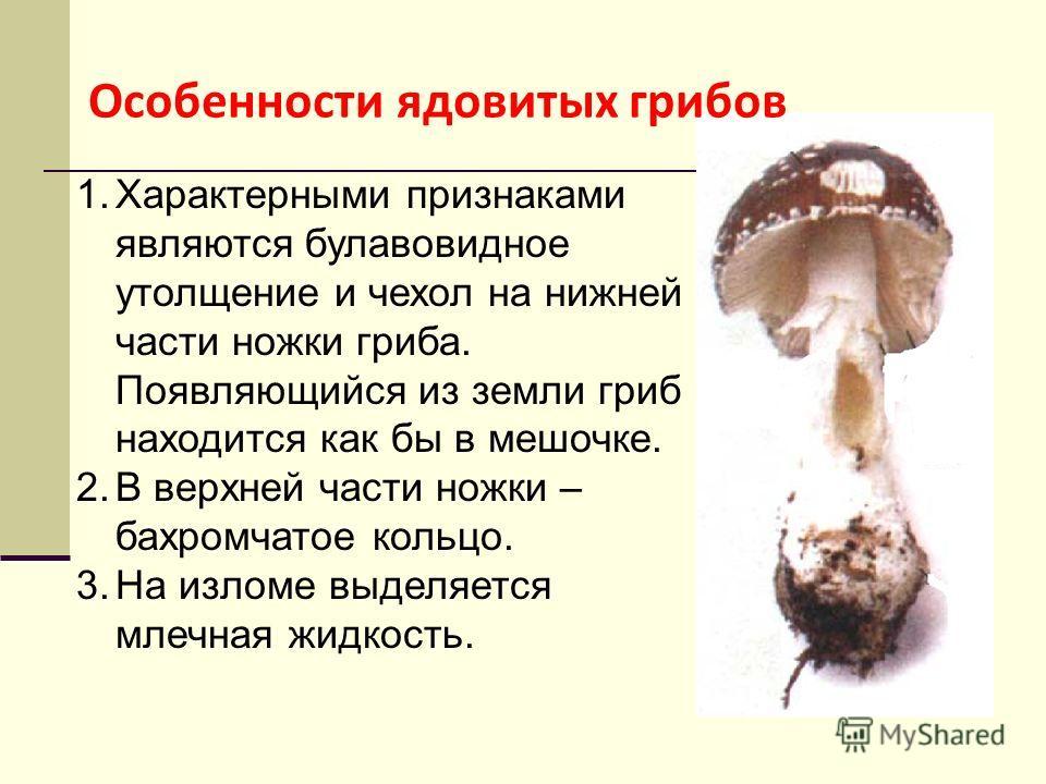 1. Характерными признаками являются булавовидное утолщение и чехол на нижней части ножки гриба. Появляющийся из земли гриб находится как бы в мешочке. 2. В верхней части ножки – бахромчатое кольцо. 3. На изломе выделяется млечная жидкость. Особенност