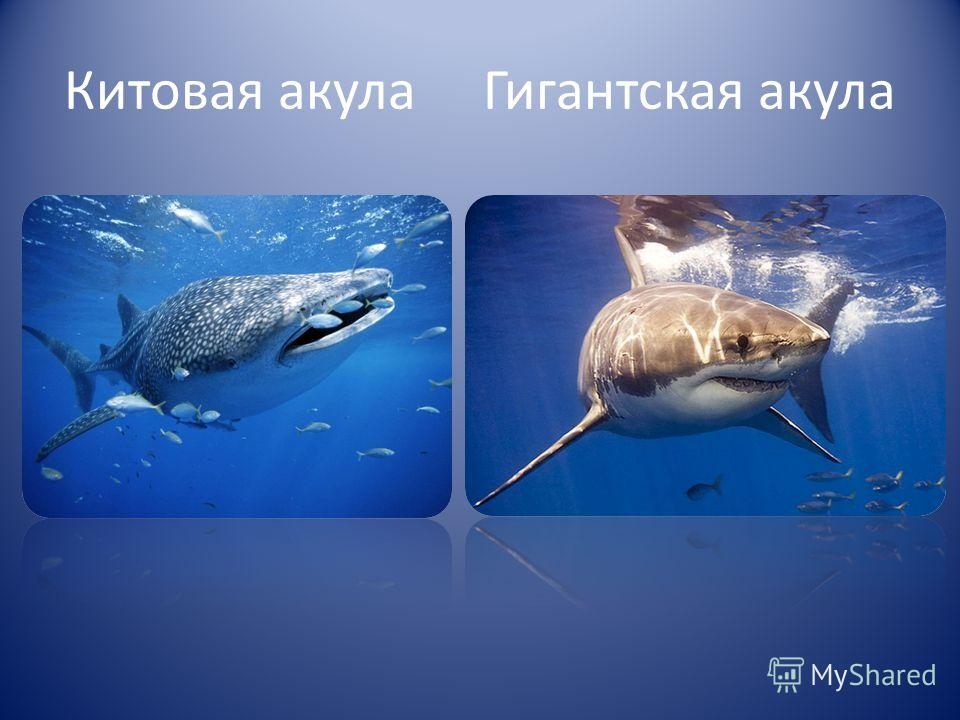 Китовая акула Гигантская акула
