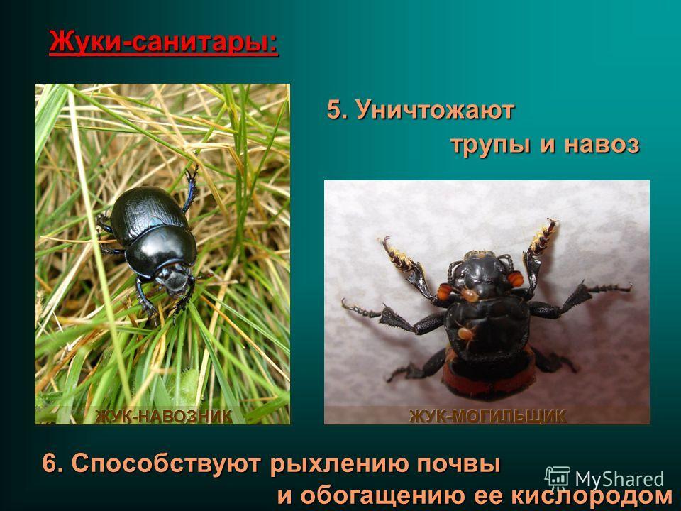 5. Уничтожают трупы и навоз 6. Способствуют рыхлению почвы и обогащению ее кислородом Жуки-санитары: