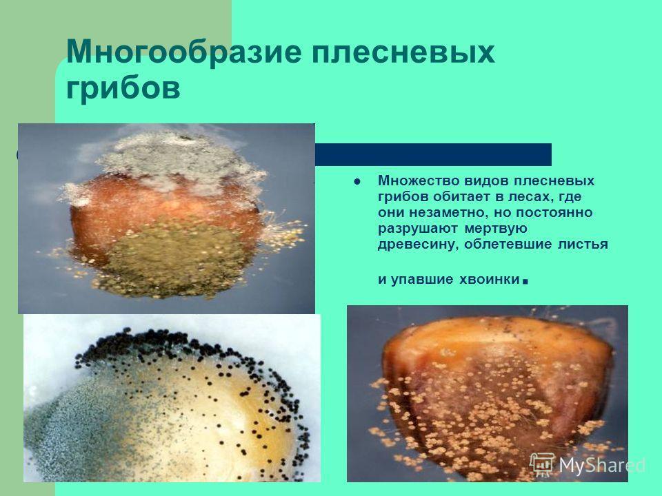 Грибы в медицине: Грибы рода пеницилл используют для производства пенициллина, гризеофульвина и других антибиотиков.