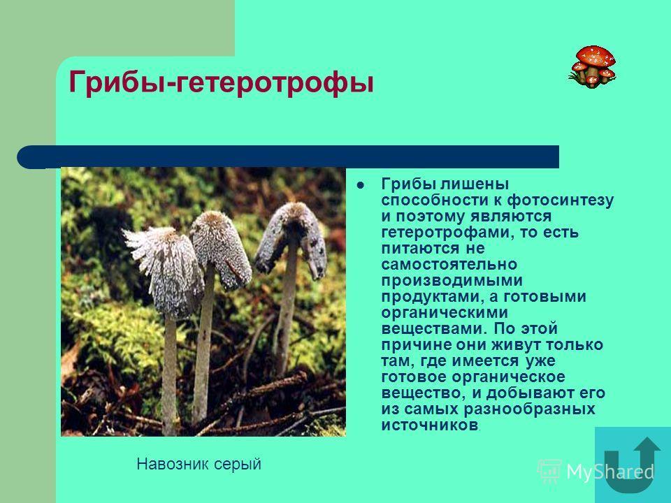 Многообразие плесневых грибов Множество видов плесневых грибов обитает в лесах, где они незаметно, но постоянно разрушают мертвую древесину, облетевшие листья и упавшие хвоинки.