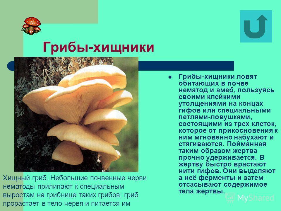 Грибы-паразиты Среди плесневых грибов встречаются и паразиты. Они нападают на растения, на животных и даже на человека. Например, грибок фитофтора (от греч. phyton растение и phthoros гибель, уничтожение) является настоящим бичом картофеля. В дождлив