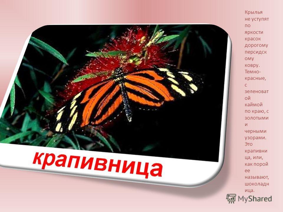 Крылья не уступят по яркости красок дорогому персидскому ковру. Темно- красные, с зеленоват ой каймой по краю, с золотыми и черными узорами. Это крапивница, или, как порой ее называют, шоколадница.