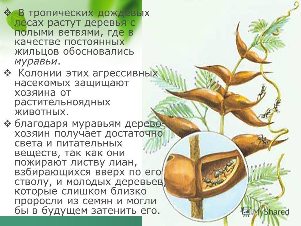 В тропических дождевых лесах растут деревья с полыми ветвями, где в качестве постоянных жильцов обосновались муравьи. Колонии этих агрессивных насекомых защищают хозяина от растительноядных животных. благодаря муравьям дерево- хозяин получает достато