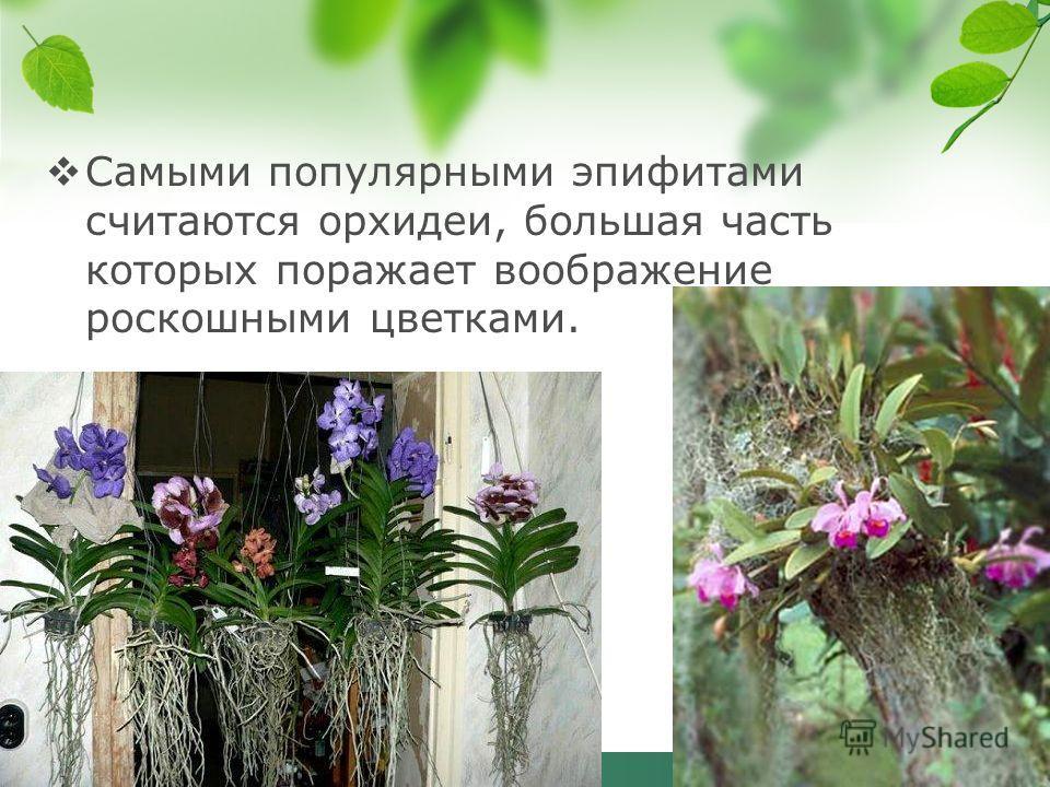 Самыми популярными эпифитами считаются орхидеи, большая часть которых поражает воображение роскошными цветками.