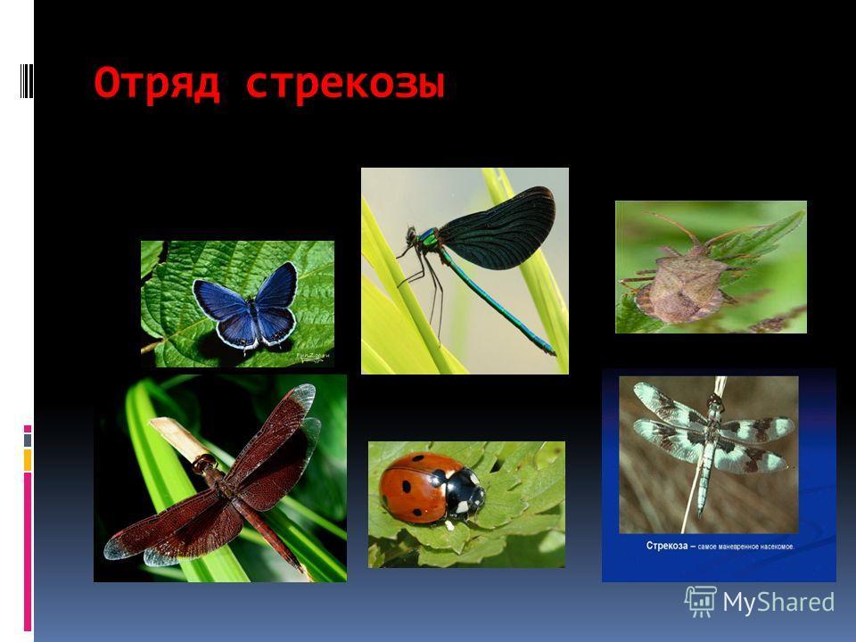 Отряд стрекозы