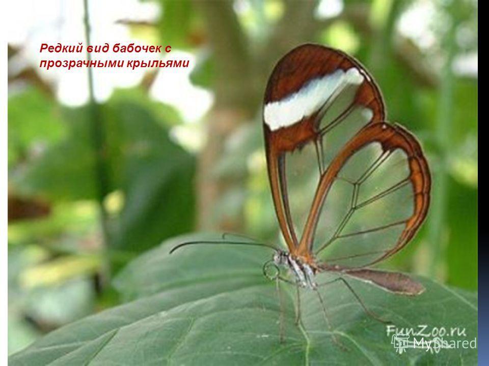 Редкий вид бабочек с прозрачными крыльями