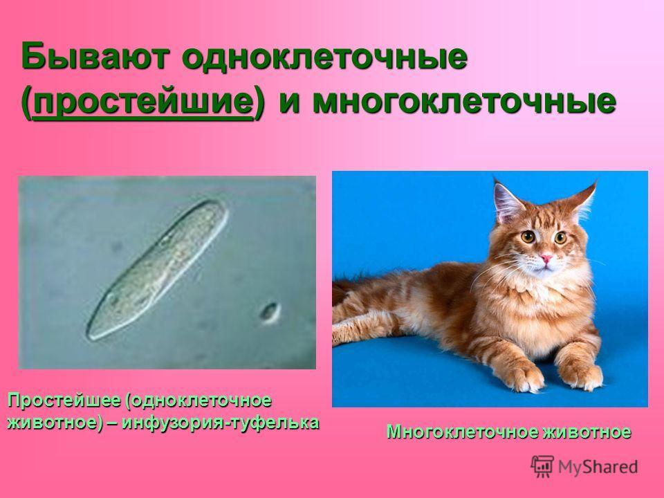 Бывают одноклеточные (простейшие) и многоклеточные Простейшее (одноклеточное животное) – инфузория-туфелька Многоклеточное животное