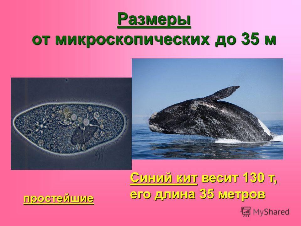 Размеры от микроскопических до 35 м простейшие Синий кит весит 130 т, его длина 35 метров
