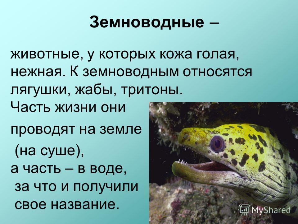 Земноводные – животные, у которых кожа голая, нежная. К земноводным относятся лягушки, жабы, тритоны. Часть жизни они проводят на земле (на суше), а часть – в воде, за что и получили свое название.