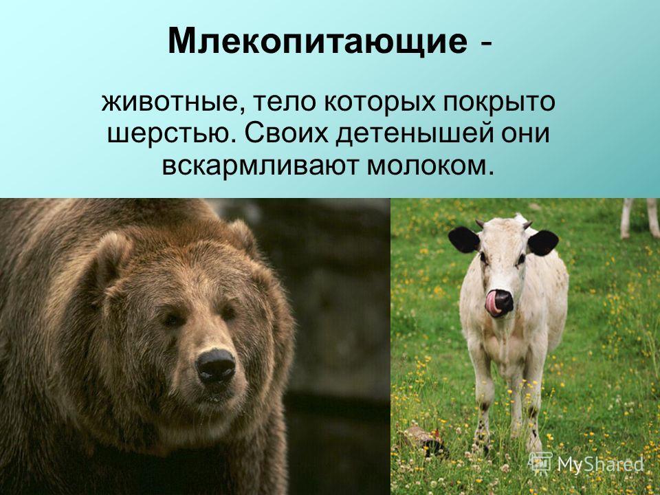 Млекопитающие - животные, тело которых покрыто шерстью. Своих детенышей они вскармливают молоком.