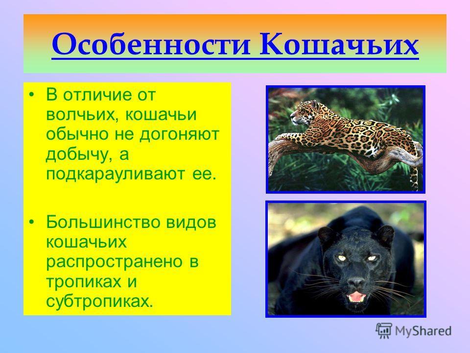 Семейство Кошачьи включает животных средних и крупных размеров с удлиненными конечностями и втягивающимися когтями. Выполнила ученица 8- го класса Ковалёва Татьяна