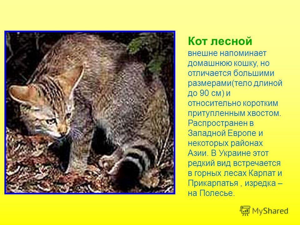 Наиболее крупный представитель кошачьих- тигр( длина тела до 3 м, масса- до 300 кг), обитающий в Южной Азии и на юге Дальнего Востока России. Лев,распространенный в Центральной Африке и Южной Азии( Индия), несколько мельче тигра( тело длиной до 2,5 м