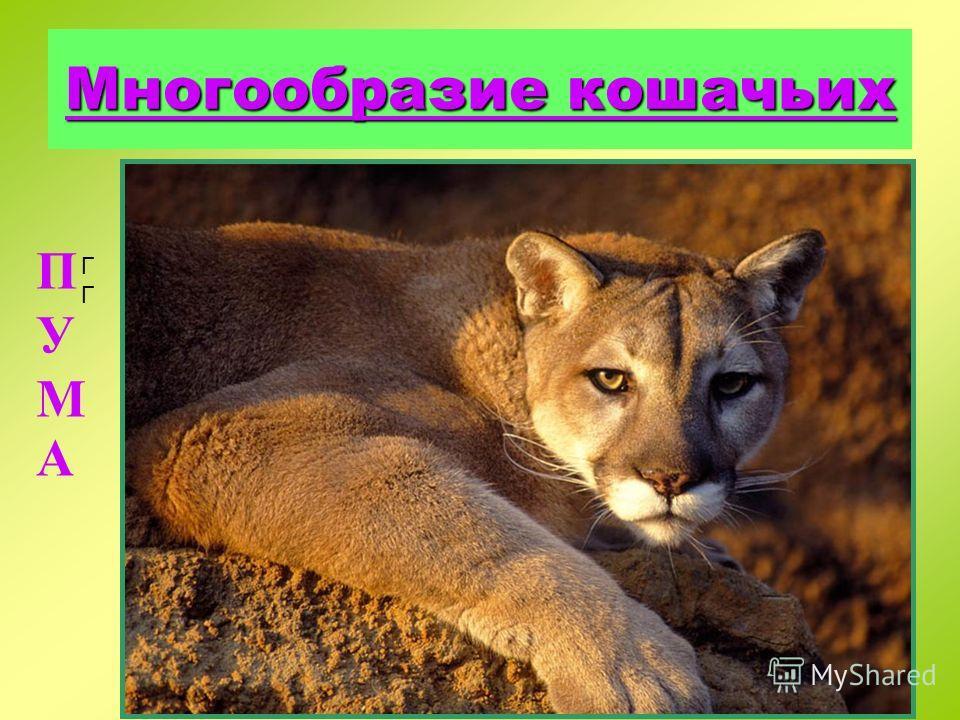 Кот лесной внешне напоминает домашнюю кошку, но отличается большими размерами(тело длиной до 90 см) и относительно коротким притупленным хвостом. Распространен в Западной Европе и некоторых районах Азии. В Украине этот редкий вид встречается в горных