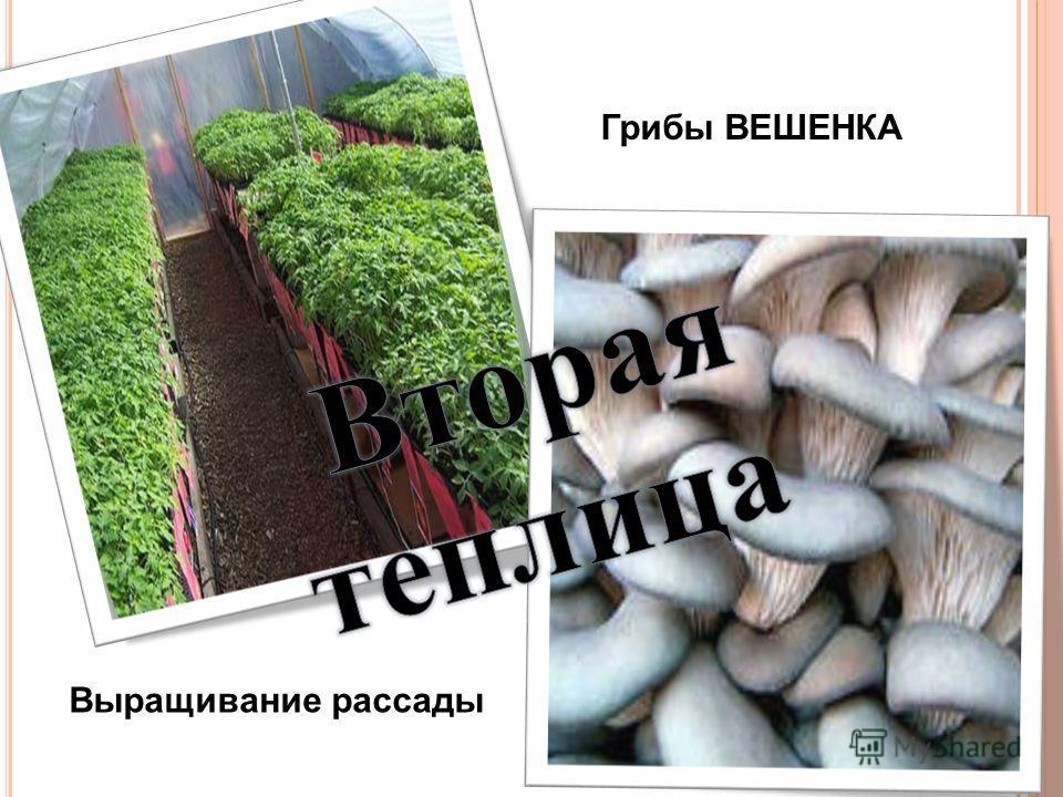 Выращивание рассады Грибы ВЕШЕНКА