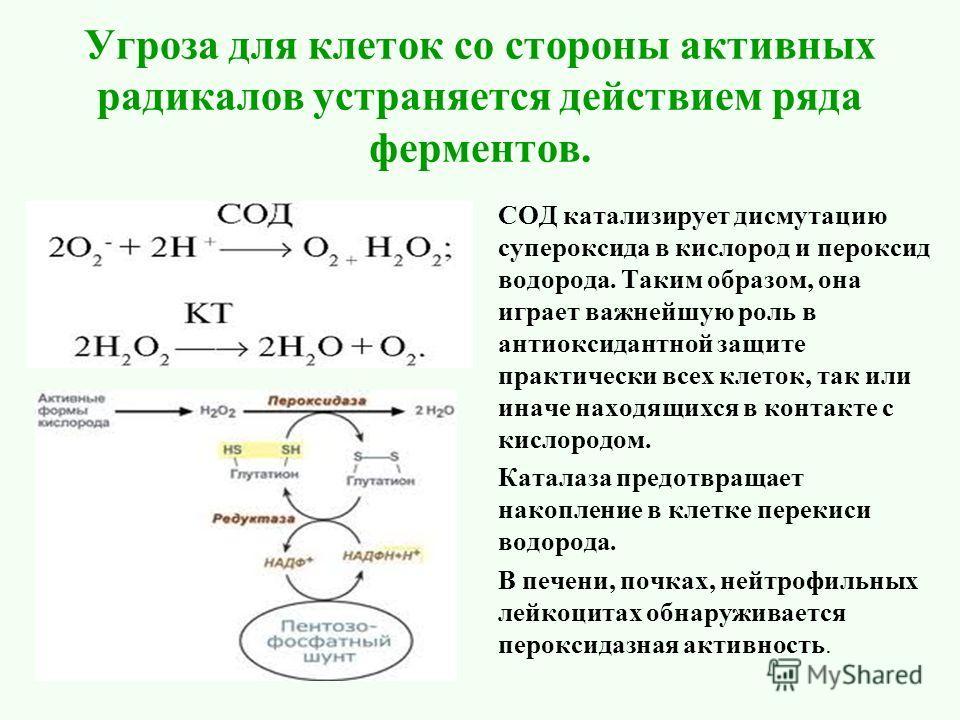 Угроза для клеток со стороны активных радикалов устраняется действием ряда ферментов. СОД катализирует дисмутацию супероксида в кислород и пероксид водорода. Таким образом, она играет важнейшую роль в антиоксидантной защите практически всех клеток, т