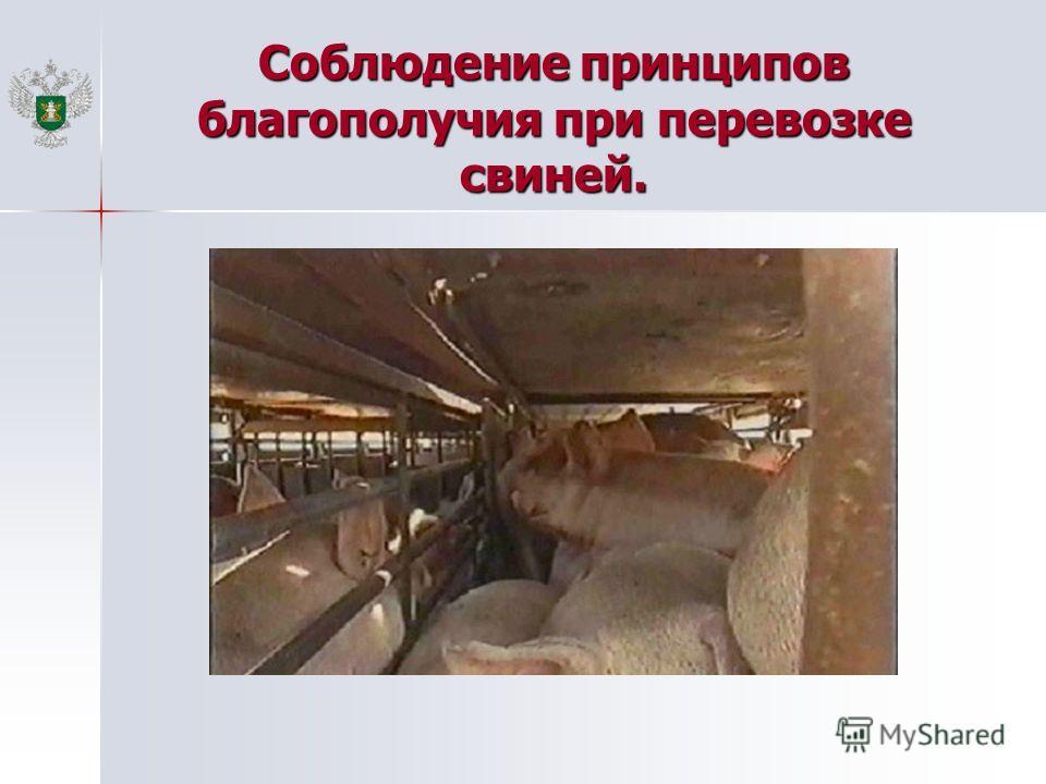 Соблюдение принципов благополучия при перевозке свиней.