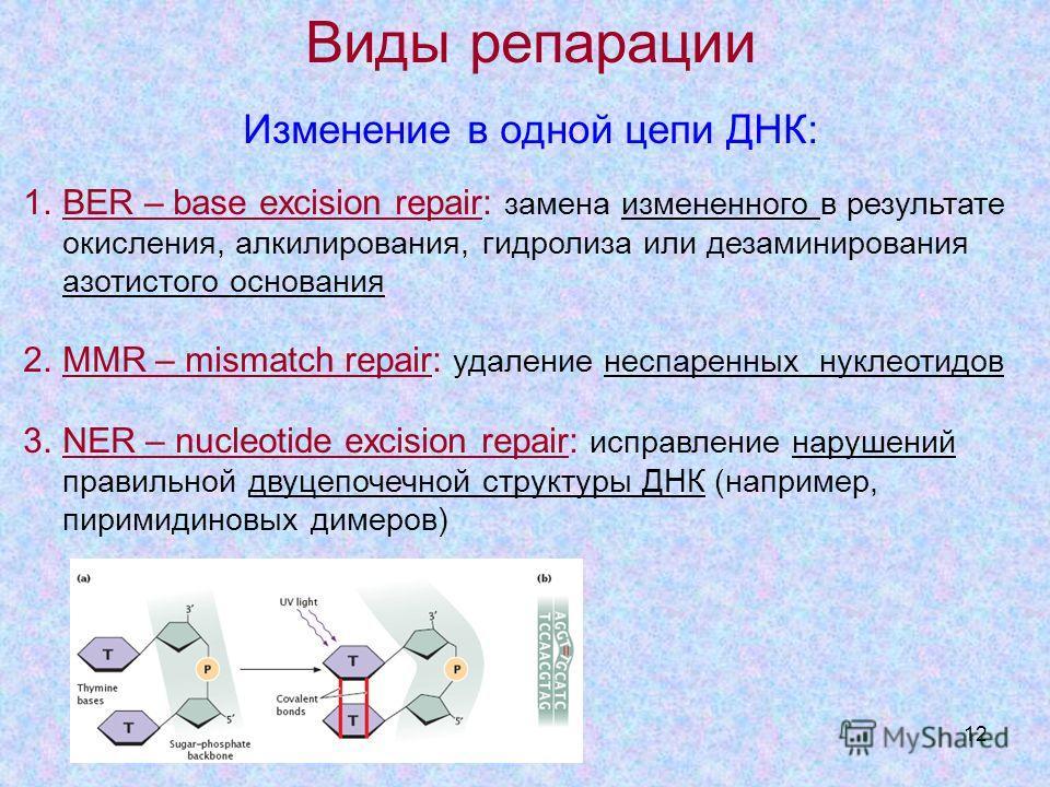 12 Виды репарации Изменение в одной цепи ДНК: 1. BER – base excision repair: замена измененного в результате окисления, алкилирования, гидролиза или дезаминирования азотистого основания 2. MMR – mismatch repair: удаление неспаренных нуклеотидов 3. NE