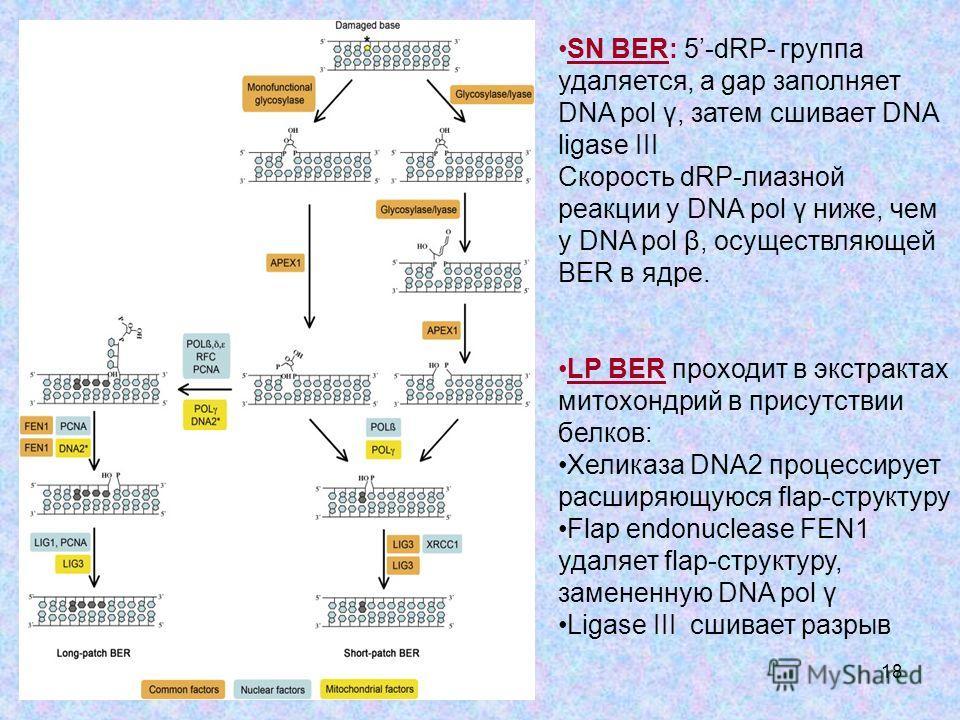 18 SN BER: 5-dRP- группа удаляется, а gap заполняет DNA pol γ, затем сшивает DNA ligase III Скорость dRP-лиазной реакции у DNA pol γ ниже, чем у DNA pol β, осуществляющей BER в ядре. LP BER проходит в экстрактах митохондрий в присутствии белков: Хели