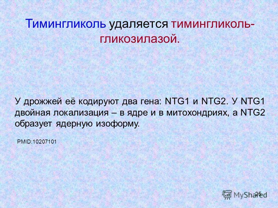 25 Тимингликоль удаляется тимингликоль- гликозилазой. У дрожжей её кодируют два гена: NTG1 и NTG2. У NTG1 двойная локализация – в ядре и в митохондриях, а NTG2 образует ядерную лизо форму. PMID:10207101