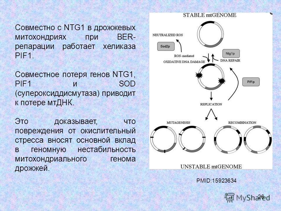 26 Совместно с NTG1 в дрожжевых митохондриях при BER- репарации работает хеликаза PIF1. Совместное потеря генов NTG1, PIF1 и SOD (супероксиддисмутаза) приводит к потере мтДНК. Это доказывает, что повреждения от окислительный стресса вносят основной в