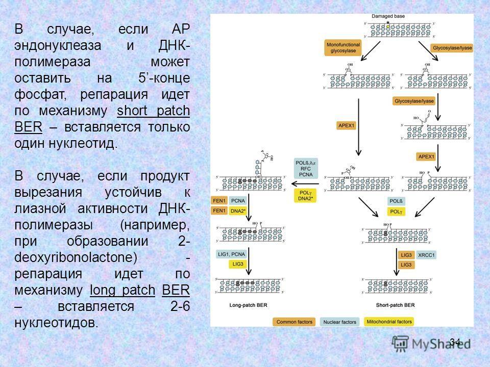 34 В случае, если АР эндонуклеаза и ДНК- полимераза может оставить на 5-конце фосфат, репарация идет по механизму short patch BER – вставляется только один нуклеотид. В случае, если продукт вырезания устойчив к лиазной активности ДНК- полимеразы (нап