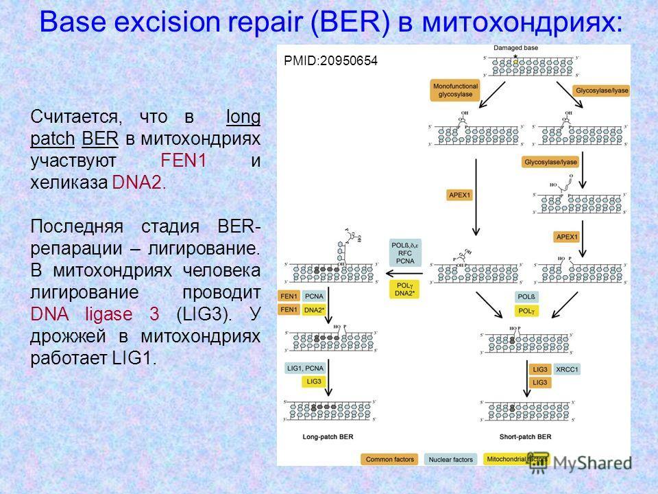 35 Base excision repair (BER) в митохондриях: PMID:20950654 Считается, что в long patch BER в митохондриях участвуют FEN1 и хеликаза DNA2. Последняя стадия BER- репарации – лигирование. В митохондриях человека лигирование проводит DNA ligase 3 (LIG3)