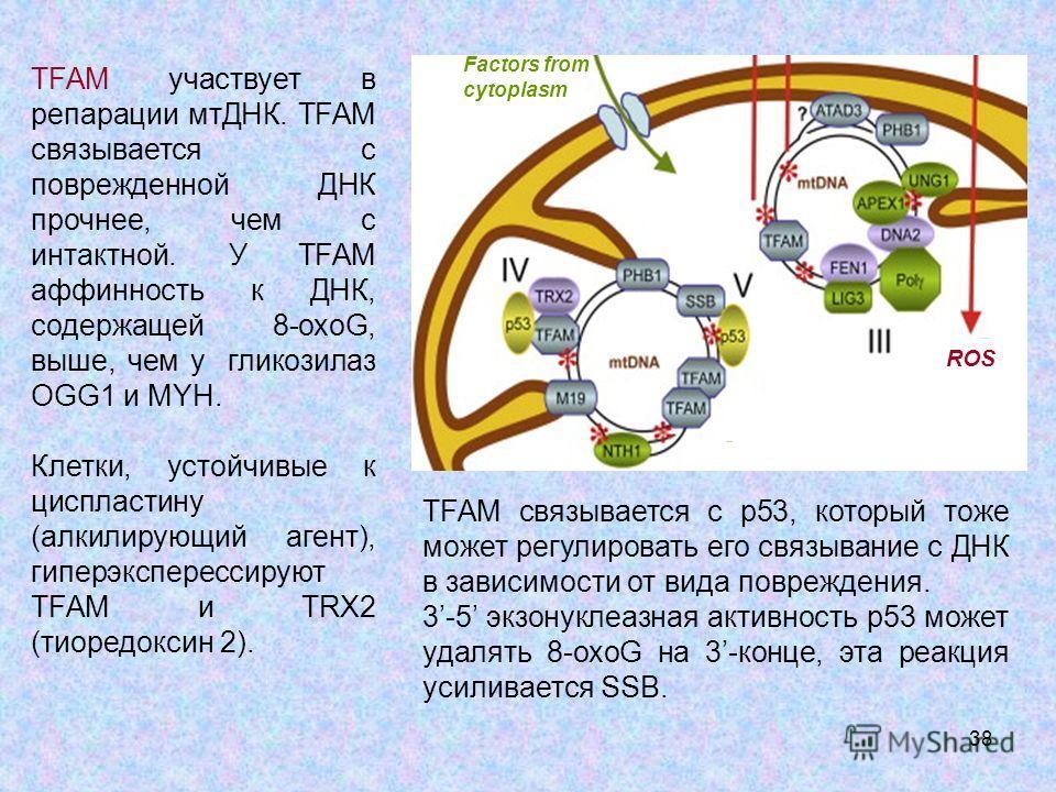 38 ROS Factors from cytoplasm TFAM участвует в репарации мтДНК. TFAM связывается с поврежденной ДНК прочнее, чем с интактной. У TFAM аффинность к ДНК, содержащей 8-охот, выше, чем у гликозилаз OGG1 и MYH. Клетки, устойчивые к циспластину (алкилирующи