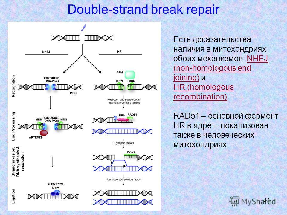 43 Double-strand break repair Есть доказательства наличия в митохондриях обоих механизмов: NHEJ (non-homologous end joining) и HR (homologous recombination). RAD51 – основной фермент HR в ядре – локализован также в человеческих митохондриях :