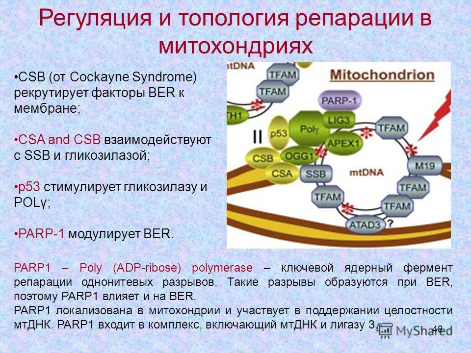 48 CSB (от Cockayne Syndrome) рекрутирует факторы BER к мембране; CSA and CSB взаимодействуют с SSB и гликозилазой; p53 стимулирует гликозилазу и POLγ; PARP-1 модулирует BER. Регуляция и топология репарации в митохондриях PARP1 – Poly (ADP-ribose) po