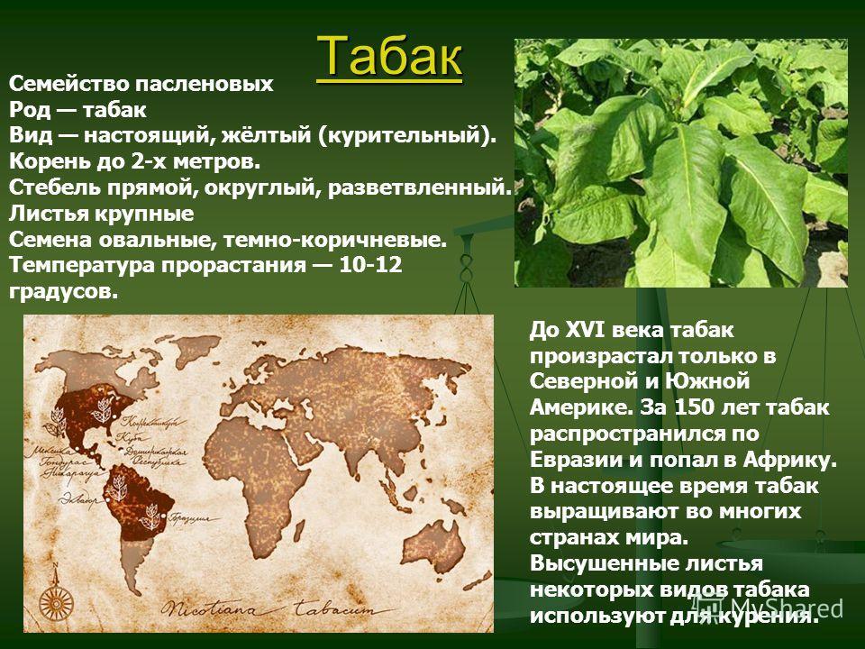Табак Семейство пасленовых Род табак Вид настоящий, жёлтый (курительный). Корень до 2-х метров. Стебель прямой, округлый, разветвленный. Листья крупные Семена овальные, темно-коричневые. Температура прорастания 10-12 градусов. До XVI века табак произ