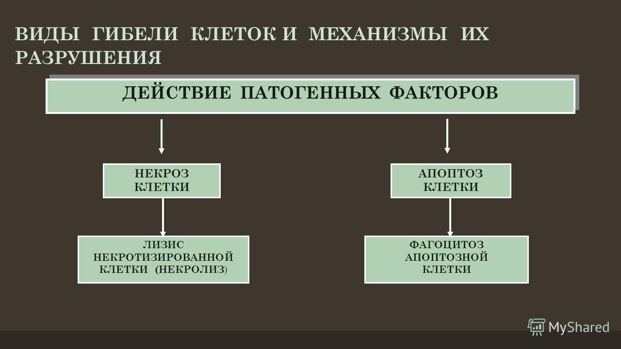 ДЕЙСТВИЕ ПАТОГЕННЫХ ФАКТОРОВ НЕКРОЗ КЛЕТКИ АПОПТОЗ КЛЕТКИ ЛИЗИС НЕКРОТИЗИРОВАННОЙ КЛЕТКИ (НЕКРОЛИЗ ) ФАГОЦИТОЗ АПОПТОЗНОЙ КЛЕТКИ ВИДЫ ГИБЕЛИ КЛЕТОК И МЕХАНИЗМЫ ИХ РАЗРУШЕНИЯ