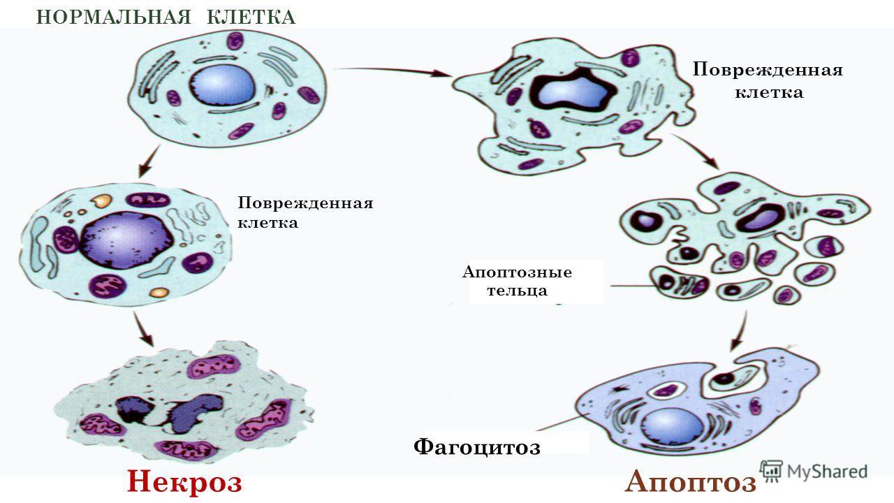 Некроз Апоптоз Фагоцитоз Апоптозные тельца НОРМАЛЬНАЯ КЛЕТКА Поврежденная клетка Поврежденная клетка
