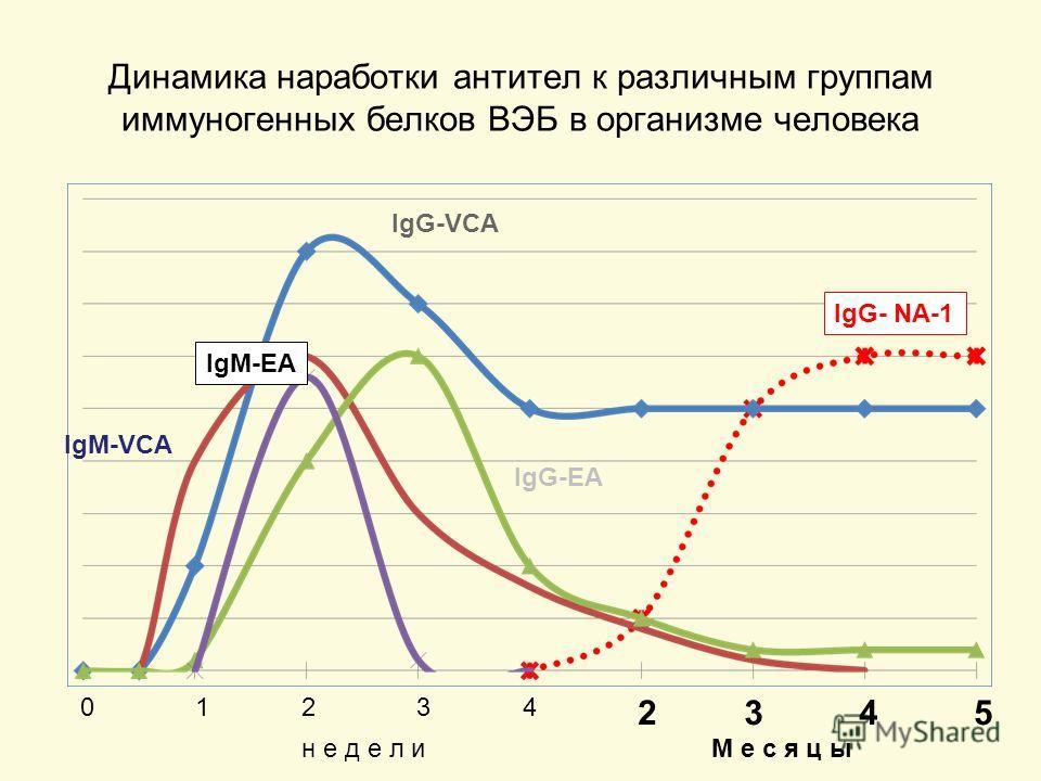 Динамика наработки антител к различным группам иммуногенных белков ВЭБ в организме человека 10234 2345 н е д е л ин е д е л иМ е с я ц ыМ е с я ц ы IgG-VCA IgM-VCA IgG-EA IgM-EA IgG- NA-1