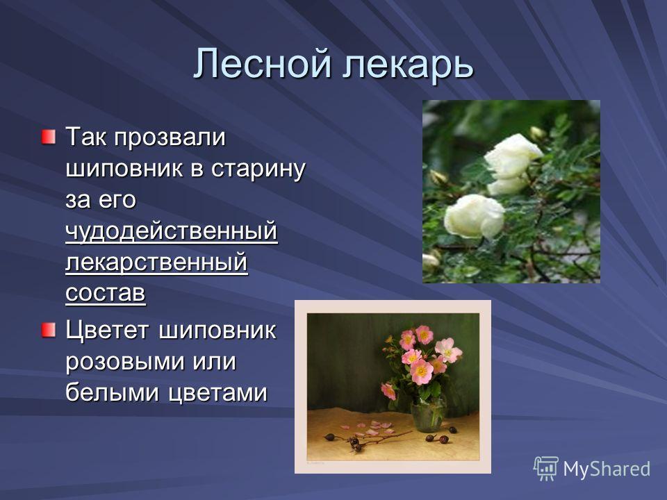 Лесной лекарь Так прозвали шиповник в старину за его чудодейственный лекарственный состав Цвотот шиповник розовыми или белыми цвотами